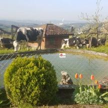 Kühe Weide Weiher
